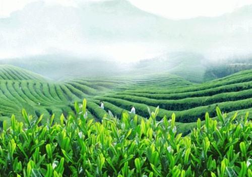 江西茶叶行业万博体育app
